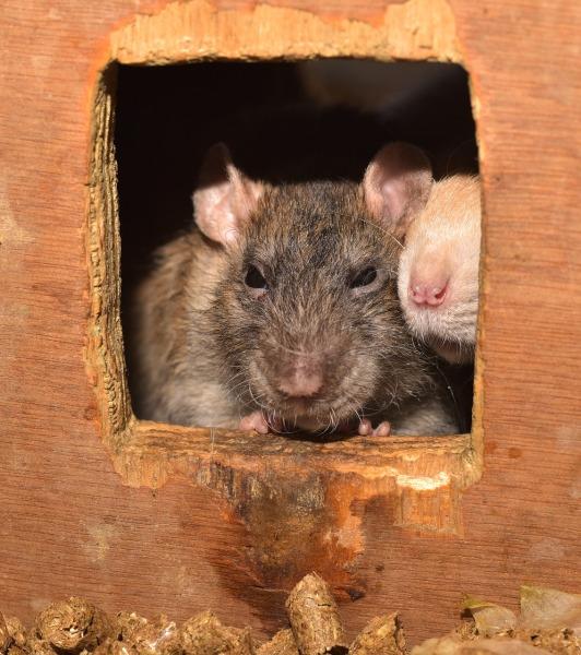 rat-2479738_1280
